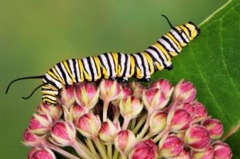 EarthTalkMonarch Butterflies