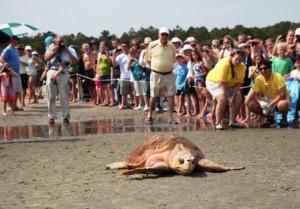 sea turtle release 1