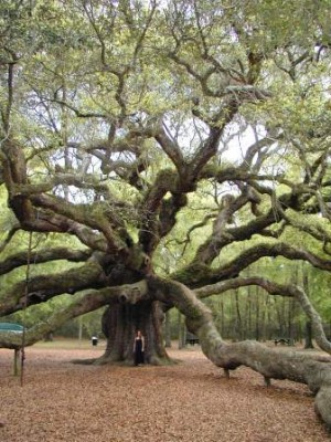 $1.2 million is still needed to save the area around the Angel Oak from being built out into residential housing units.