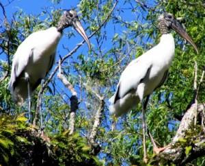 Wood_Storks