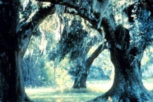 ACE basin live oaks