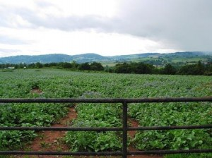 Borage_crop_with_rain_approaching_-_geograph.org.uk_-_478651